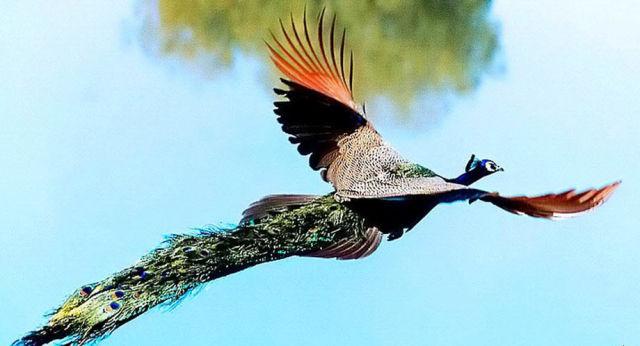 Peacock 4
